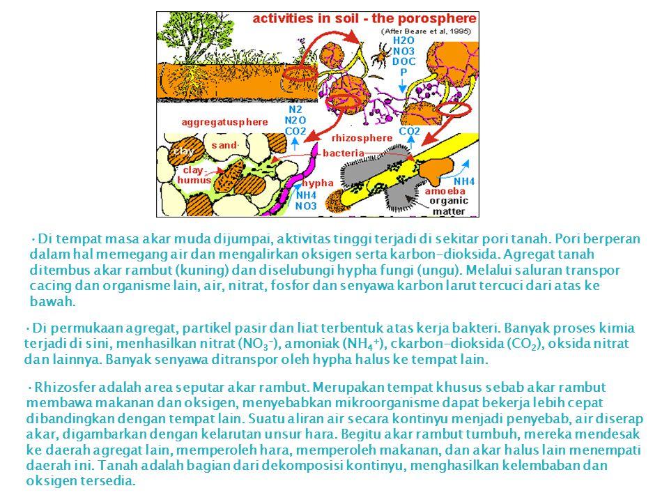 Di tempat masa akar muda dijumpai, aktivitas tinggi terjadi di sekitar pori tanah. Pori berperan dalam hal memegang air dan mengalirkan oksigen serta karbon-dioksida. Agregat tanah ditembus akar rambut (kuning) dan diselubungi hypha fungi (ungu). Melalui saluran transpor cacing dan organisme lain, air, nitrat, fosfor dan senyawa karbon larut tercuci dari atas ke bawah.