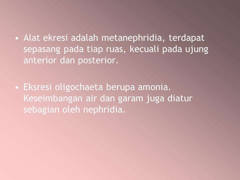 Alat ekresi adalah metanephridia, terdapat sepasang pada tiap ruas, kecuali pada ujung anterior dan posterior.
