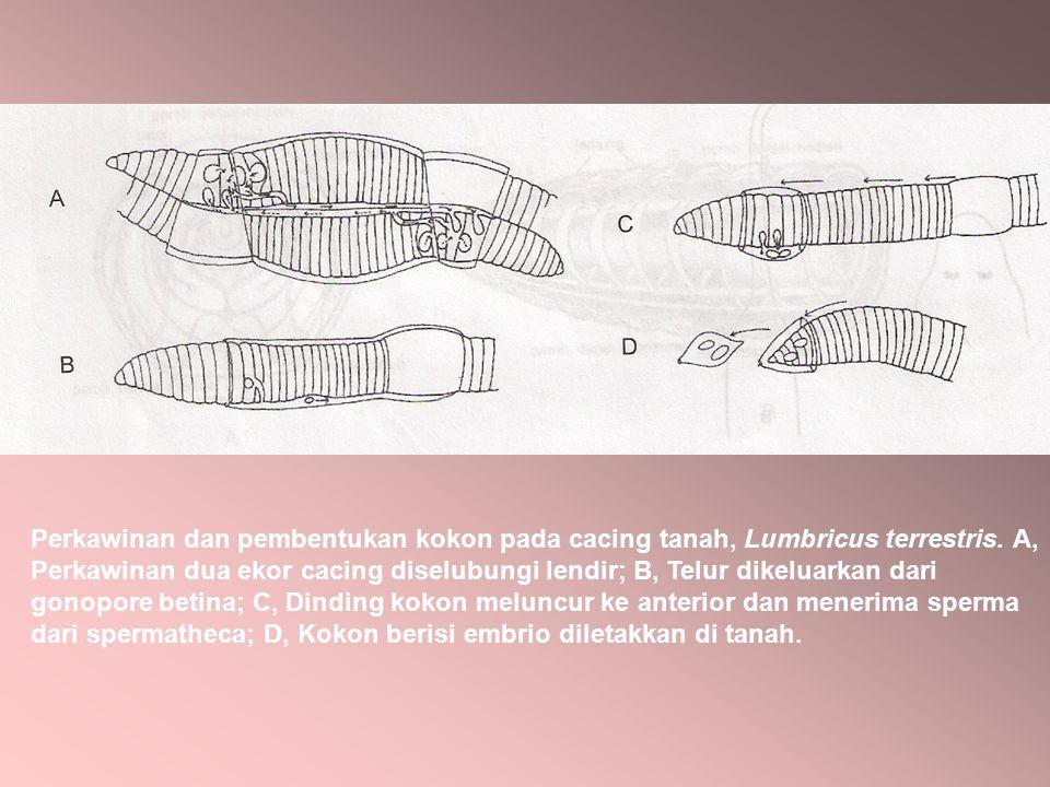 Perkawinan dan pembentukan kokon pada cacing tanah, Lumbricus terrestris.