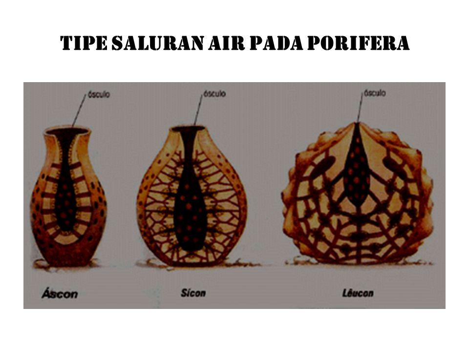 TIPE SALURAN AIR PADA PORIFERA