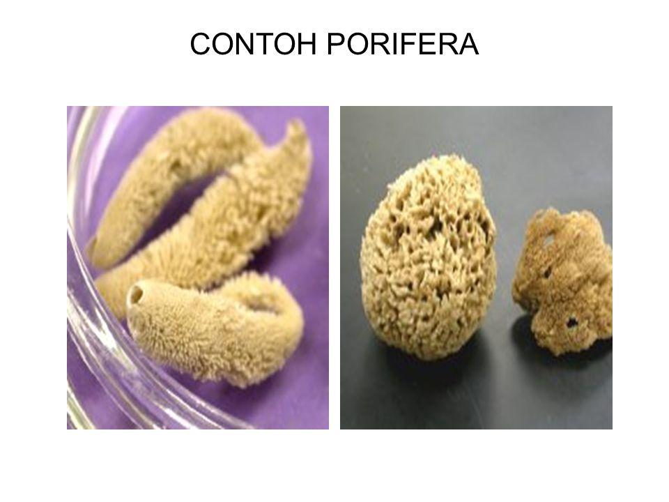 CONTOH PORIFERA