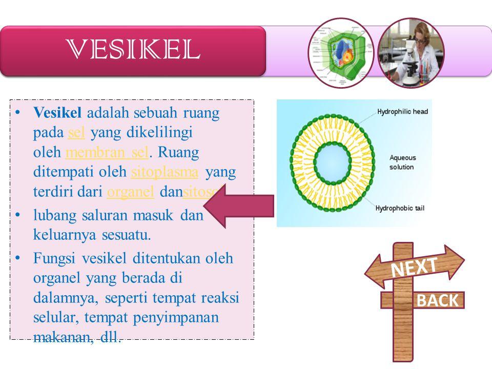 VESIKEL Vesikel adalah sebuah ruang pada sel yang dikelilingi oleh membran sel. Ruang ditempati oleh sitoplasma yang terdiri dari organel dansitosol.