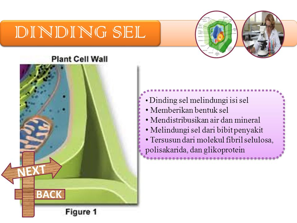 DINDING SEL NEXT BACK Memberikan bentuk sel