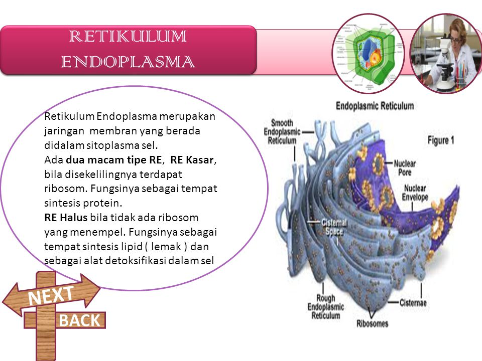 RETIKULUM ENDOPLASMA NEXT BACK