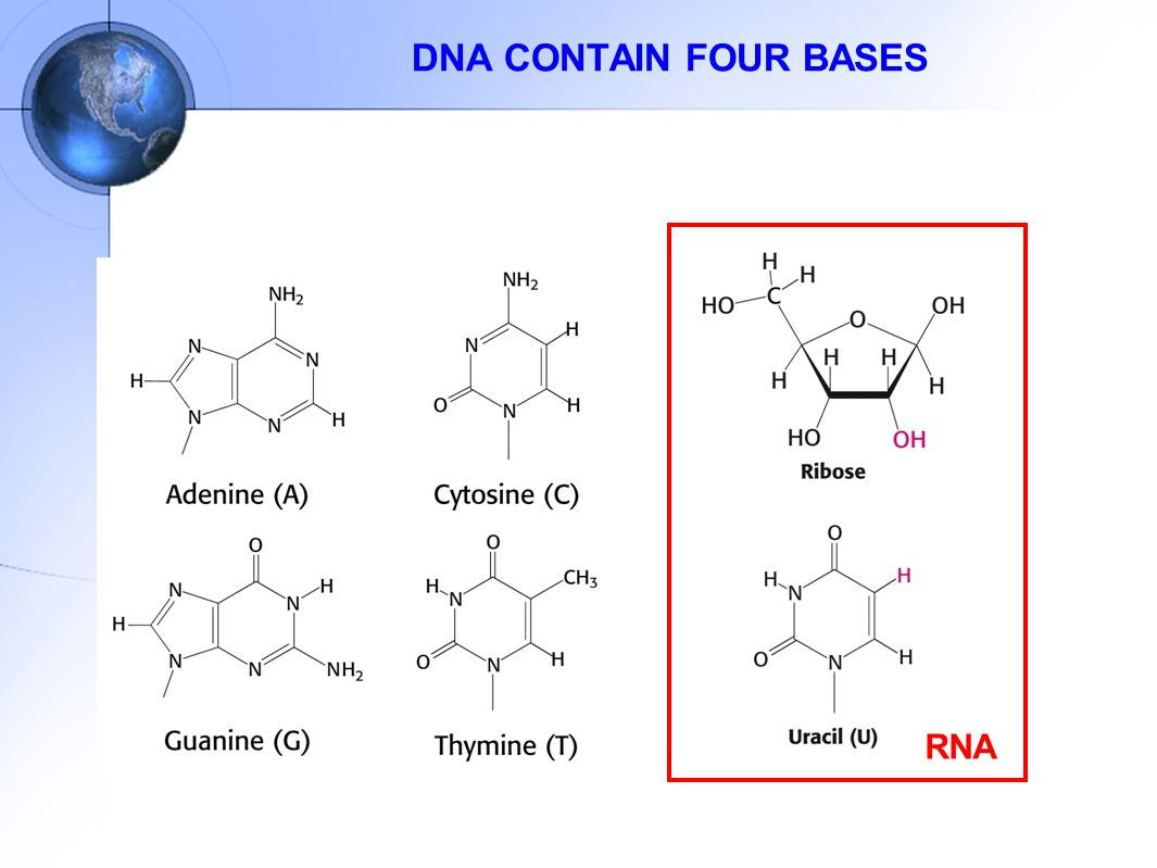 DNA CONTAIN FOUR BASES RNA