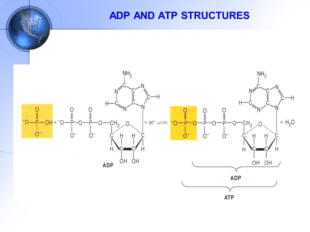 ADP AND ATP STRUCTURES
