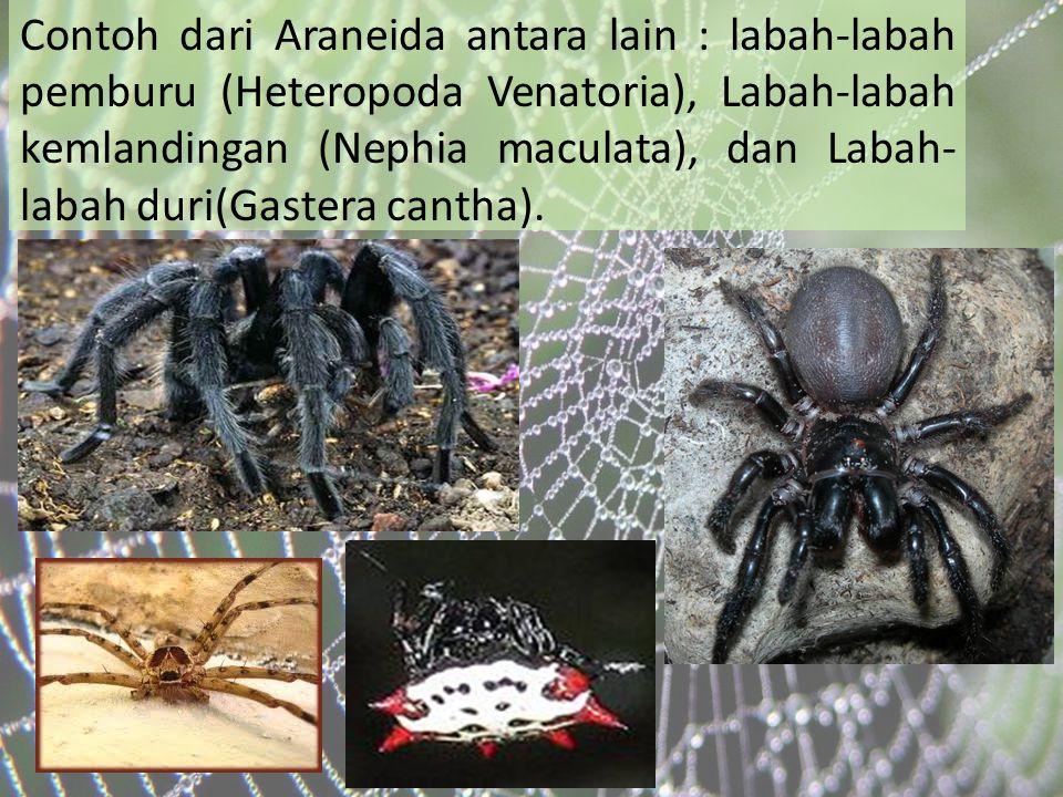 Contoh dari Araneida antara lain : labah-labah pemburu (Heteropoda Venatoria), Labah-labah kemlandingan (Nephia maculata), dan Labah-labah duri(Gastera cantha).