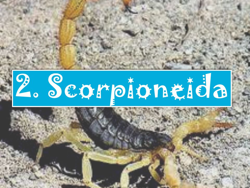 2. Scorpioneida