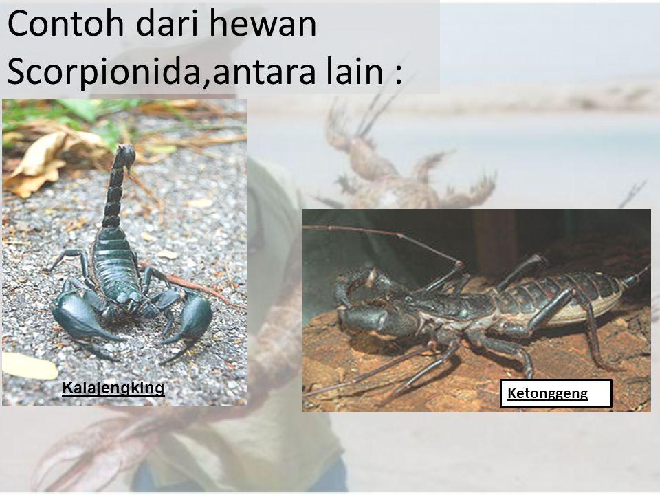 Contoh dari hewan Scorpionida,antara lain :