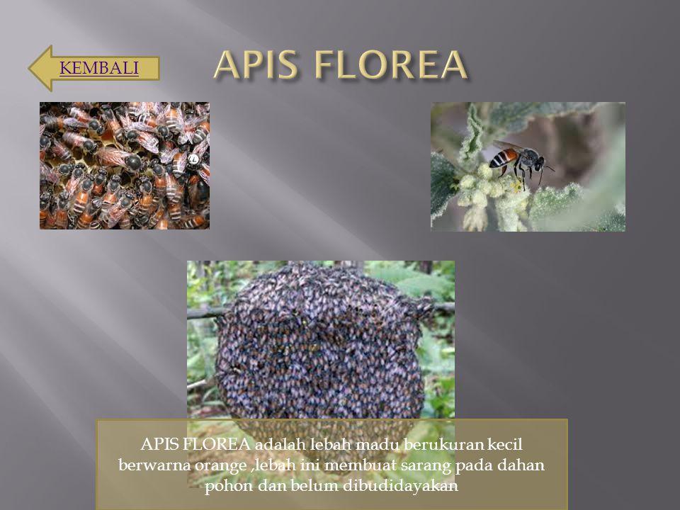 APIS FLOREA KEMBALI.