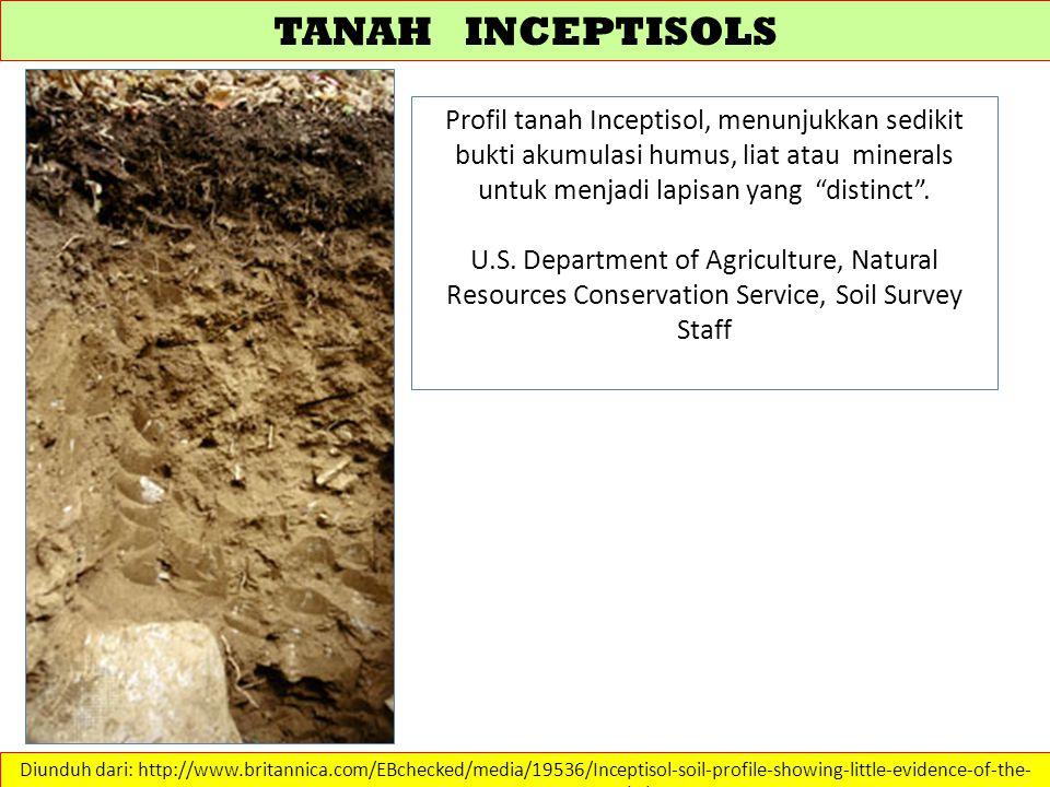 TANAH INCEPTISOLS Profil tanah Inceptisol, menunjukkan sedikit bukti akumulasi humus, liat atau minerals untuk menjadi lapisan yang distinct .