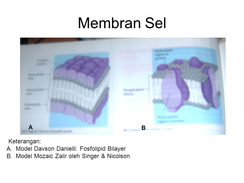 Membran Sel A B Keterangan: Model Davson Danielli: Fosfolipid Bilayer