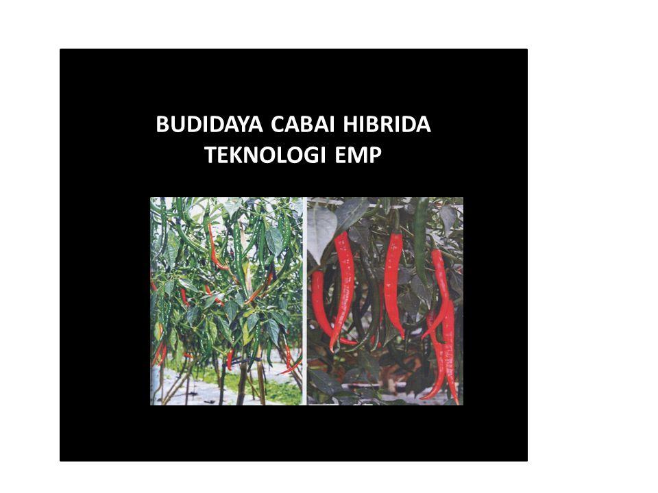 BUDIDAYA CABAI HIBRIDA