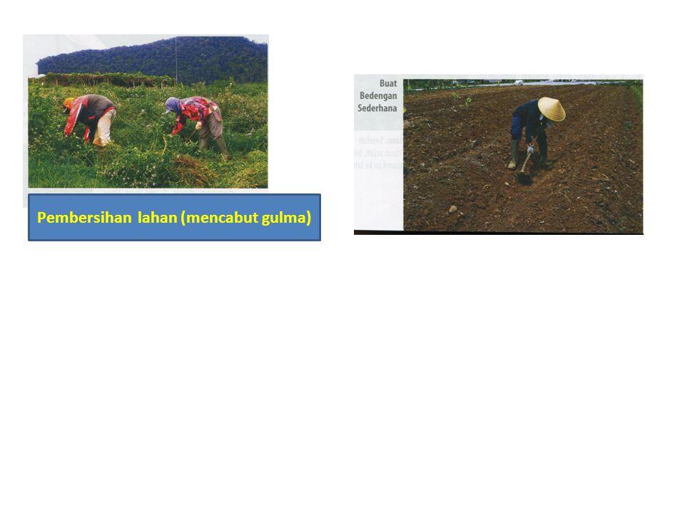Pembersihan lahan (mencabut gulma)