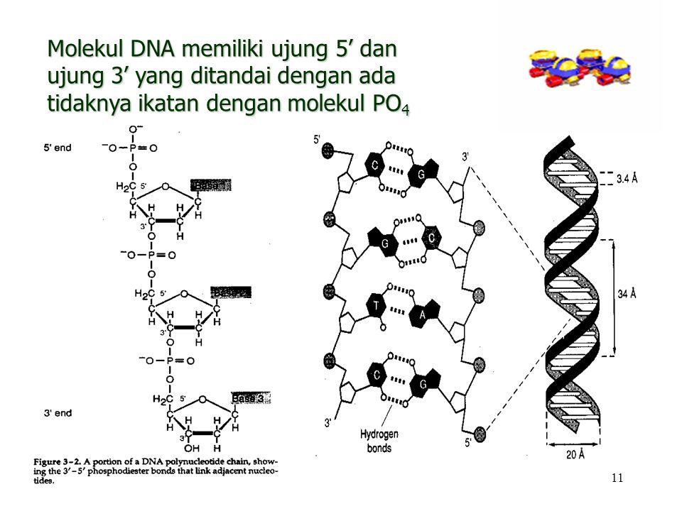 Molekul DNA memiliki ujung 5' dan ujung 3' yang ditandai dengan ada tidaknya ikatan dengan molekul PO4