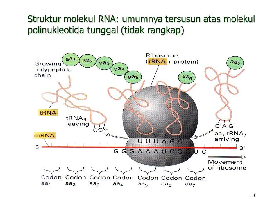 Struktur molekul RNA: umumnya tersusun atas molekul polinukleotida tunggal (tidak rangkap)
