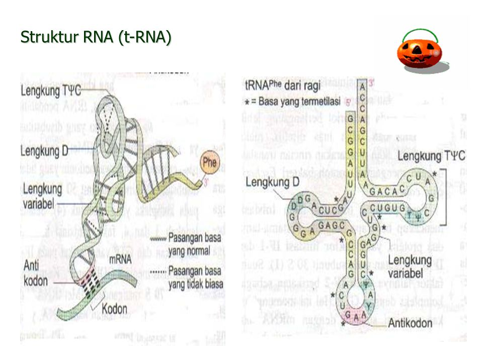 Struktur RNA (t-RNA)