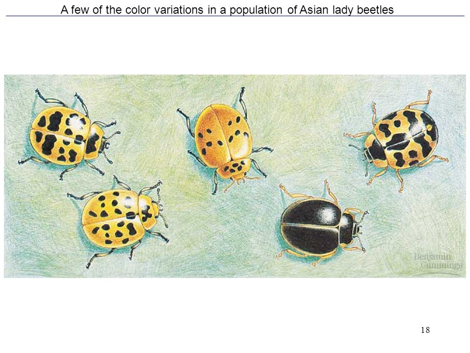 A few of the color variations in a population of Asian lady beetles
