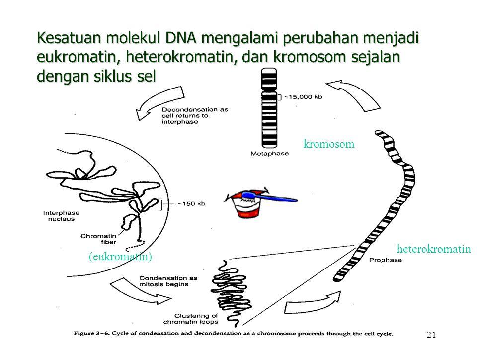 Kesatuan molekul DNA mengalami perubahan menjadi eukromatin, heterokromatin, dan kromosom sejalan dengan siklus sel