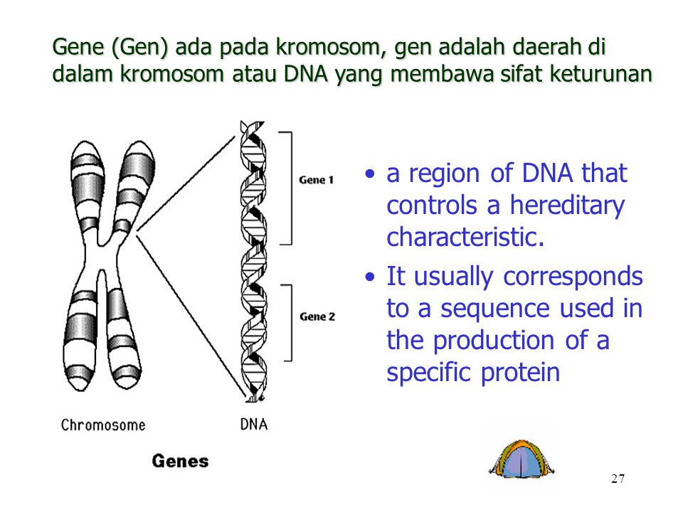 a region of DNA that controls a hereditary characteristic.