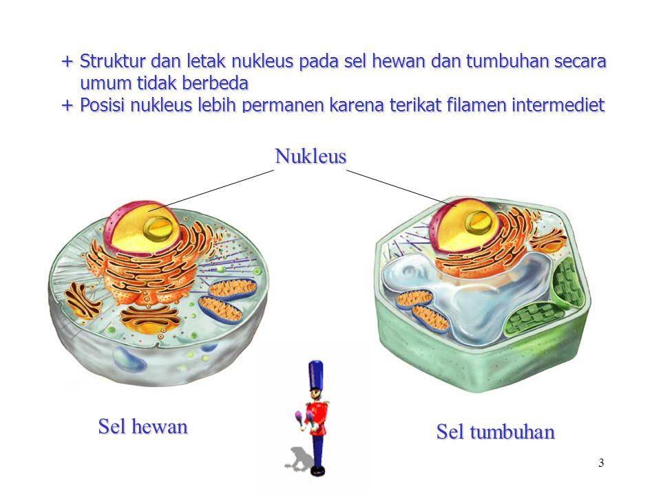 Nukleus Sel hewan Sel tumbuhan