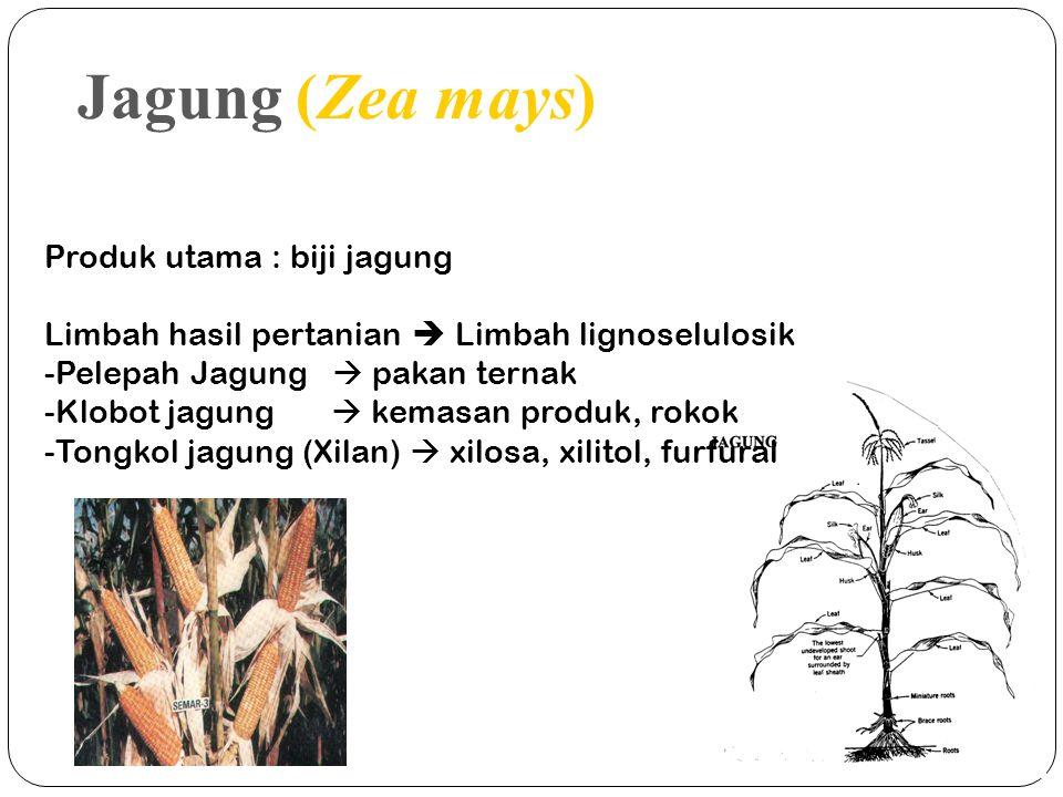 Jagung (Zea mays) Produk utama : biji jagung