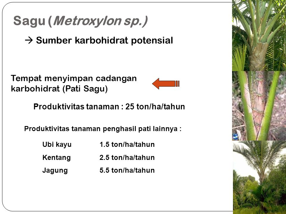 Sagu (Metroxylon sp.)  Sumber karbohidrat potensial Batang Sagu