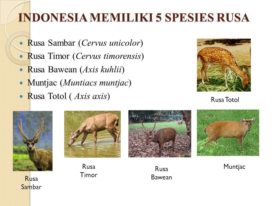 INDONESIA MEMILIKI 5 SPESIES RUSA