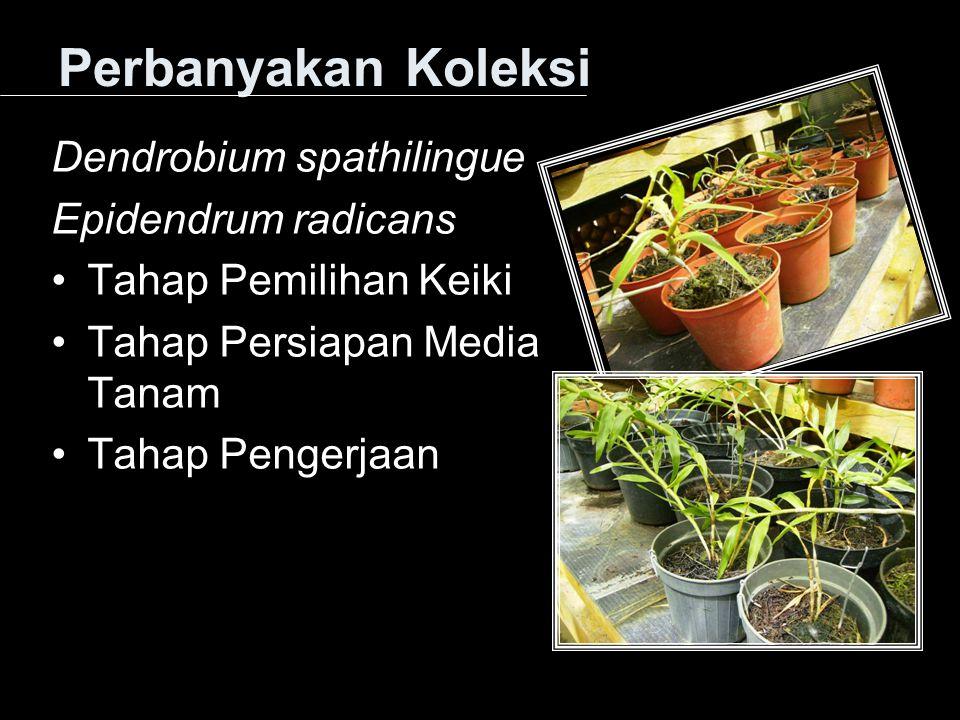 Perbanyakan Koleksi Dendrobium spathilingue Epidendrum radicans