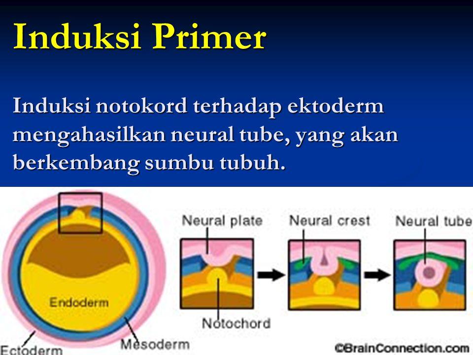 Induksi Primer Induksi notokord terhadap ektoderm mengahasilkan neural tube, yang akan berkembang sumbu tubuh.
