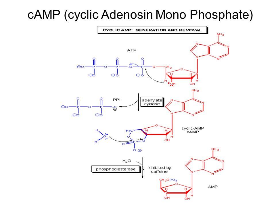 cAMP (cyclic Adenosin Mono Phosphate)