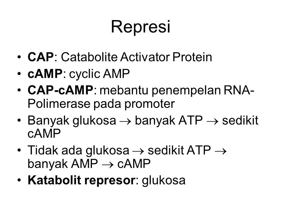 Represi CAP: Catabolite Activator Protein cAMP: cyclic AMP