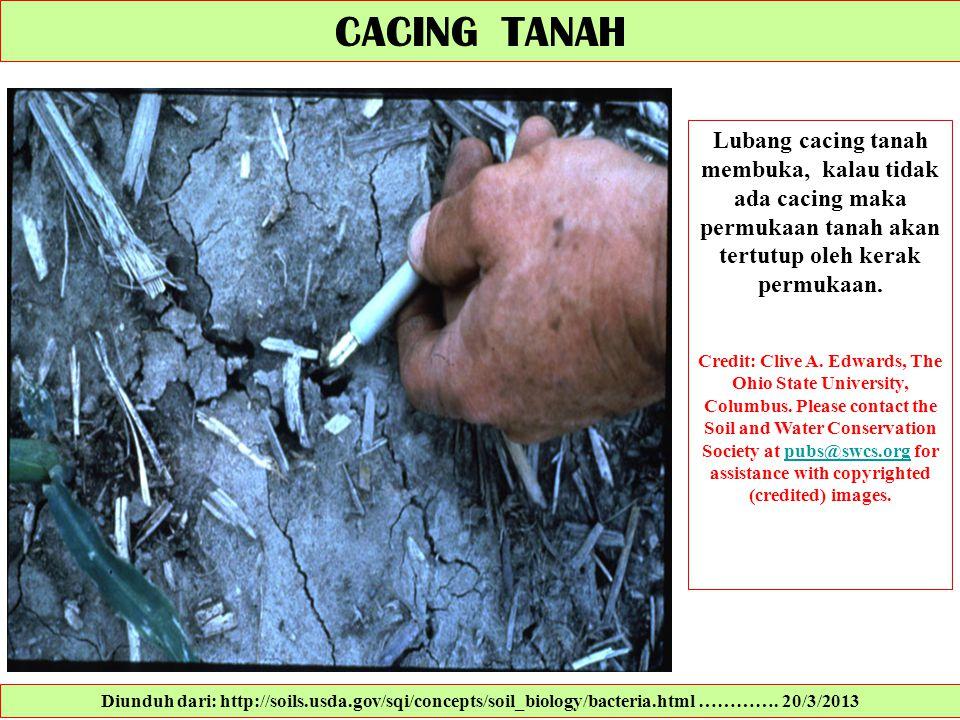 CACING TANAH Lubang cacing tanah membuka, kalau tidak ada cacing maka permukaan tanah akan tertutup oleh kerak permukaan.