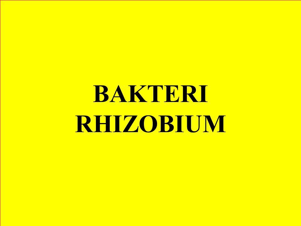 BAKTERI RHIZOBIUM