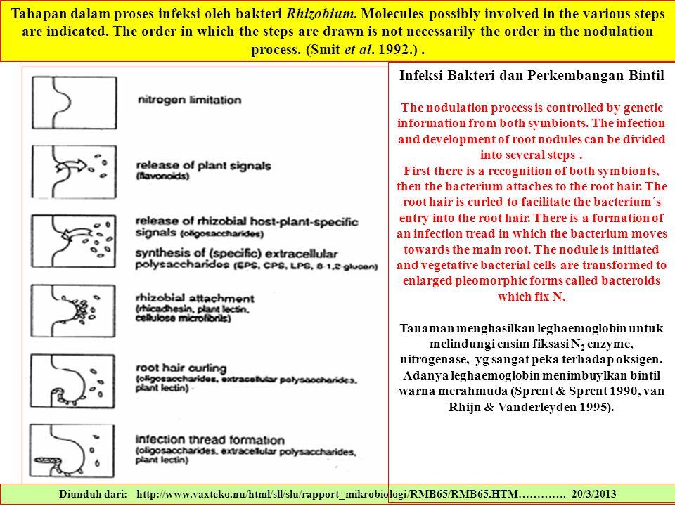 Infeksi Bakteri dan Perkembangan Bintil