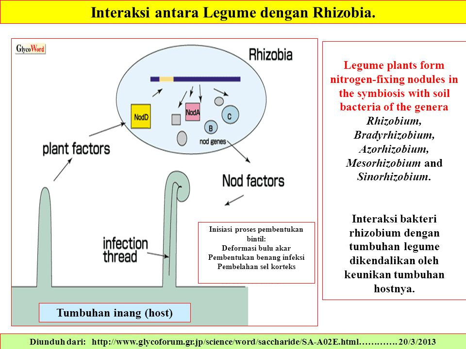 Interaksi antara Legume dengan Rhizobia.
