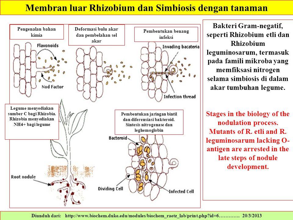 Membran luar Rhizobium dan Simbiosis dengan tanaman