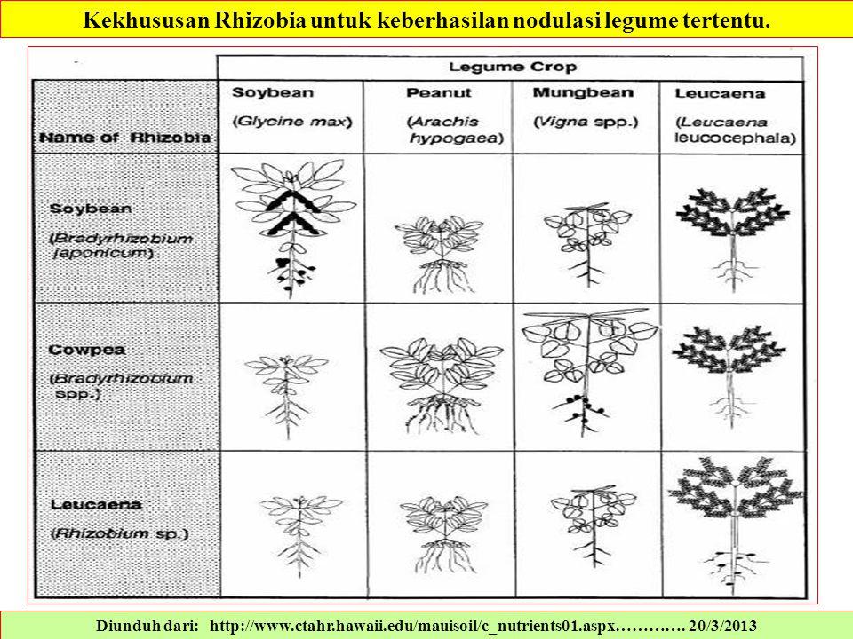 Kekhususan Rhizobia untuk keberhasilan nodulasi legume tertentu.
