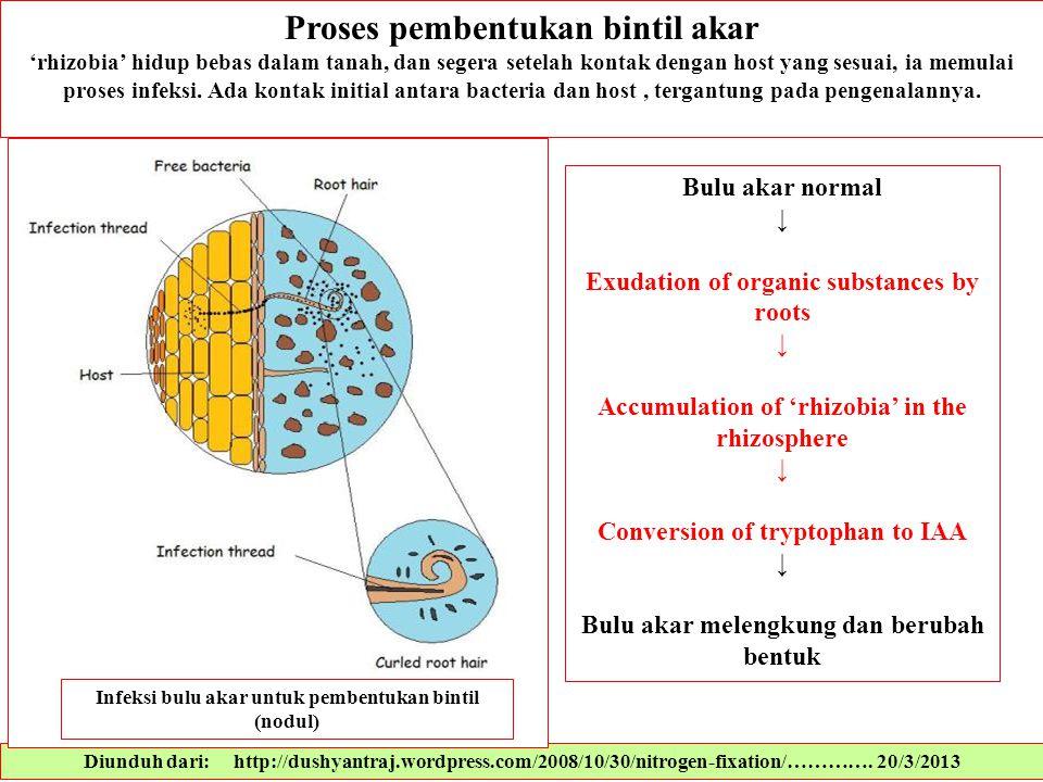 Proses pembentukan bintil akar