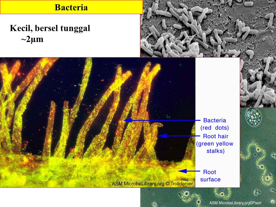Bacteria Kecil, bersel tunggal ~2µm