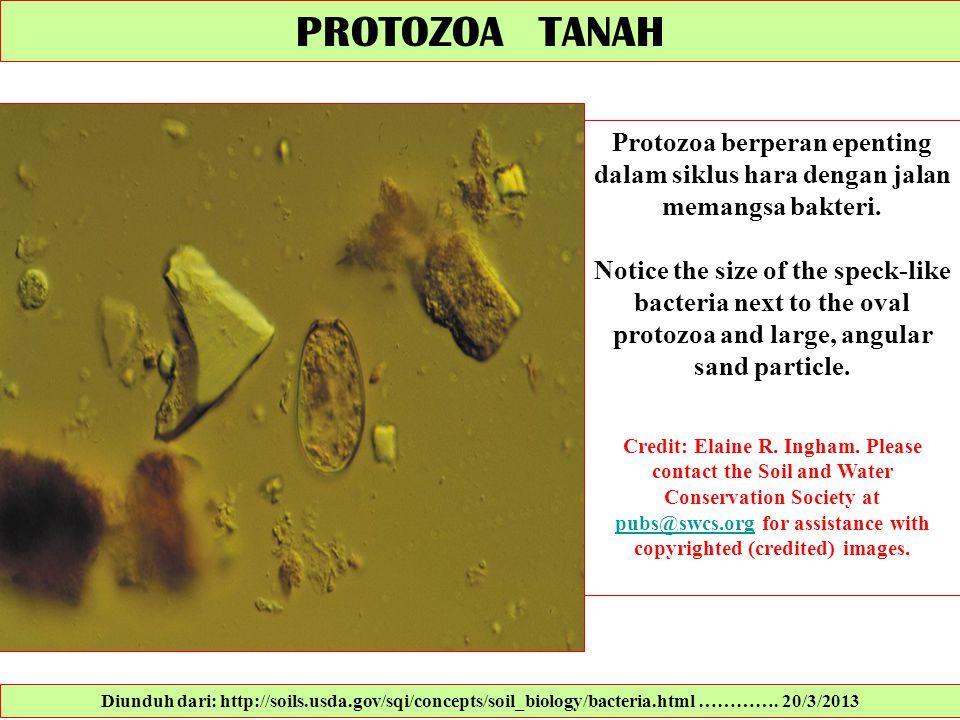 PROTOZOA TANAH Protozoa berperan epenting dalam siklus hara dengan jalan memangsa bakteri.