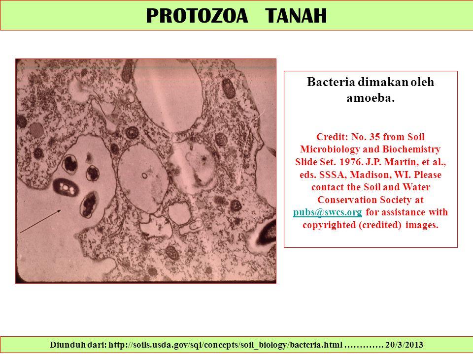 Bacteria dimakan oleh amoeba.