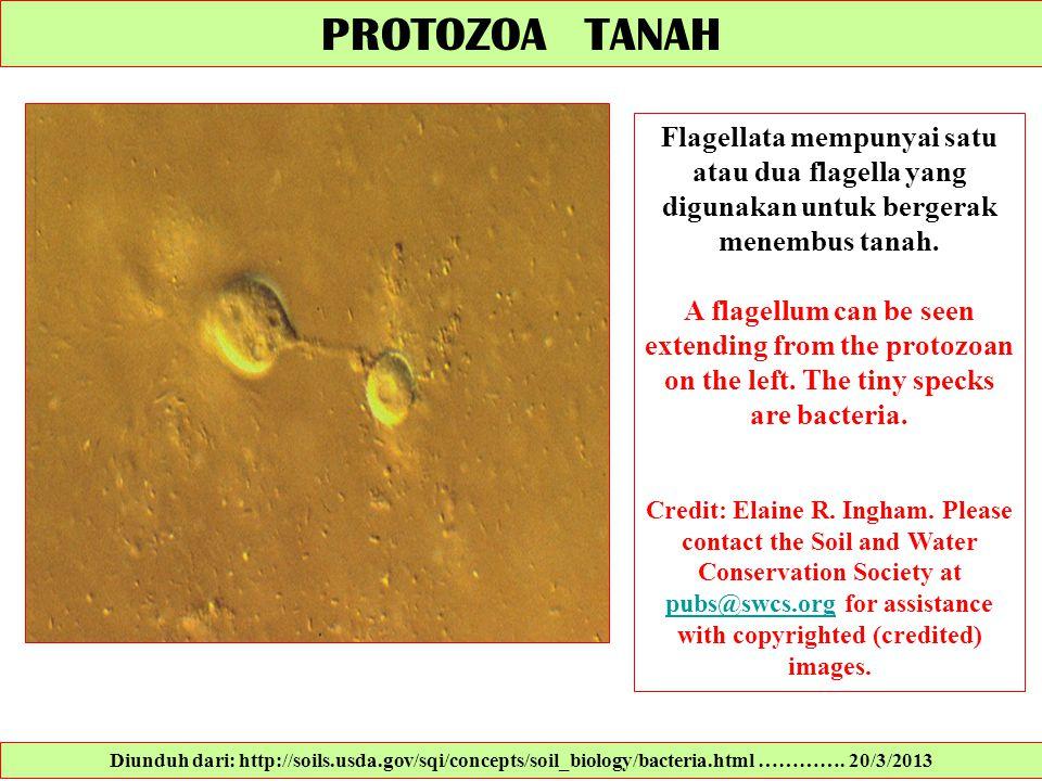 PROTOZOA TANAH Flagellata mempunyai satu atau dua flagella yang digunakan untuk bergerak menembus tanah.