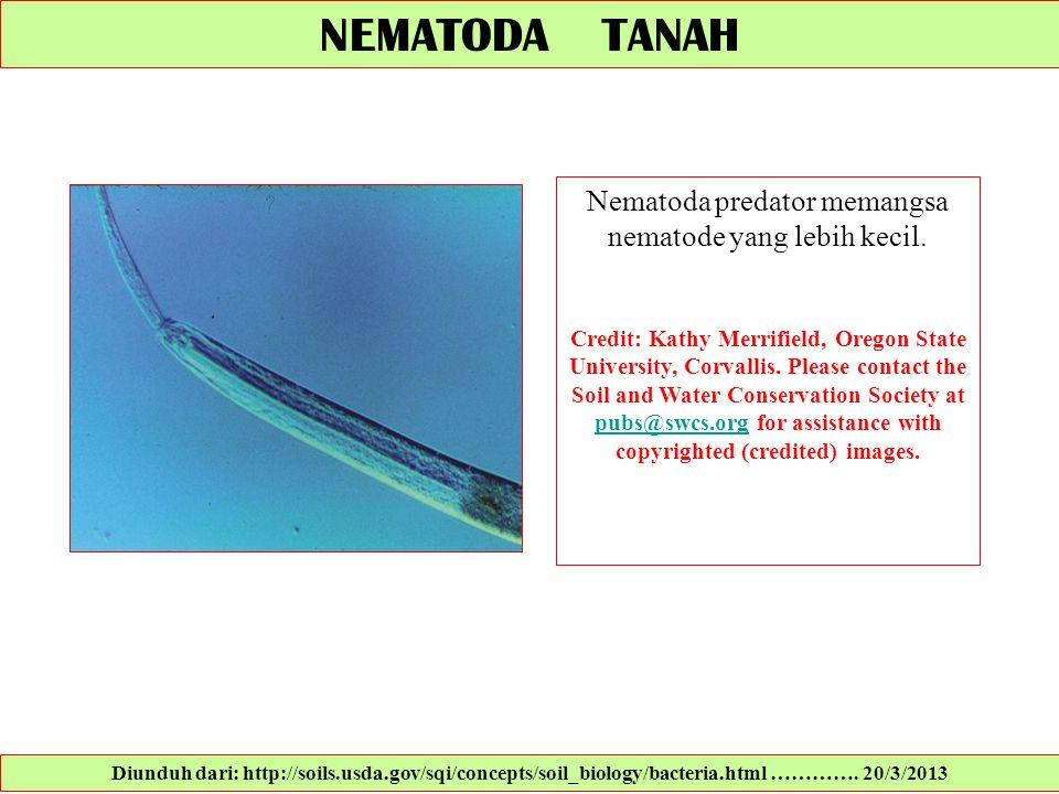 Nematoda predator memangsa nematode yang lebih kecil.