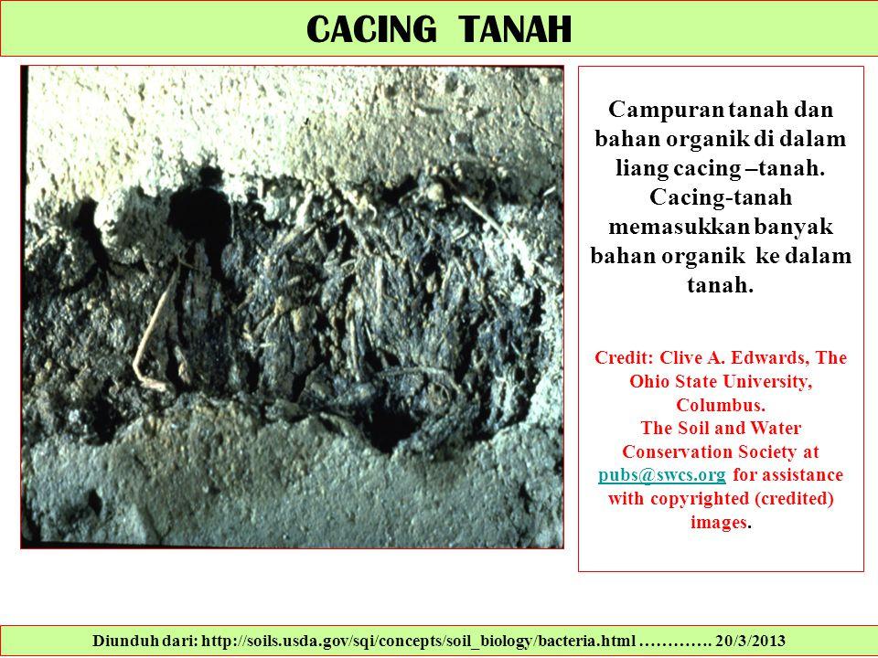 CACING TANAH Campuran tanah dan bahan organik di dalam liang cacing –tanah. Cacing-tanah memasukkan banyak bahan organik ke dalam tanah.
