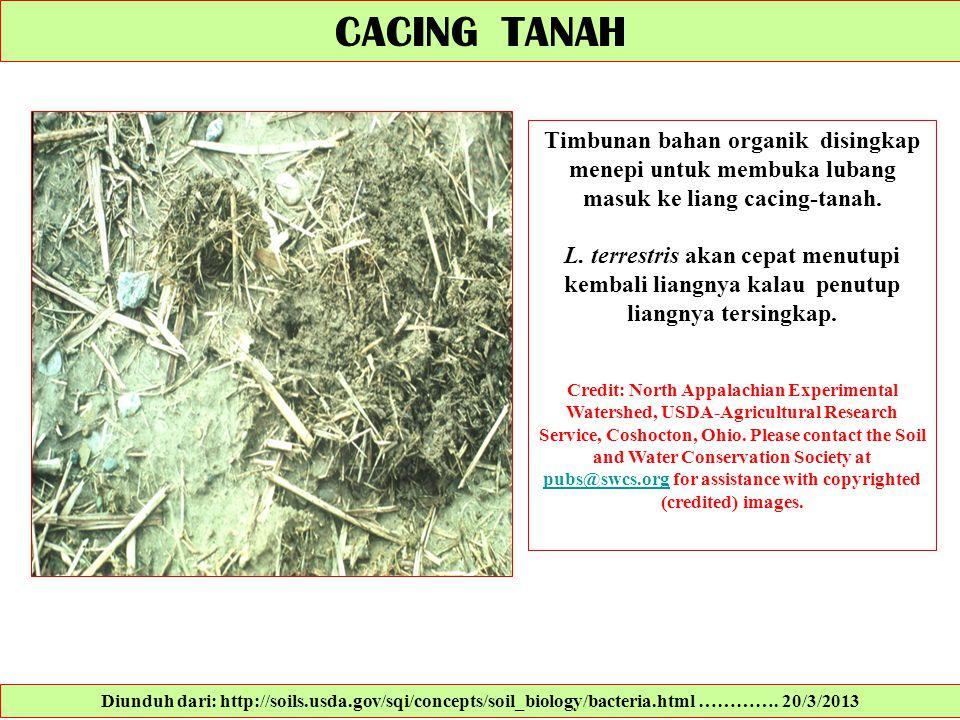 CACING TANAH Timbunan bahan organik disingkap menepi untuk membuka lubang masuk ke liang cacing-tanah.