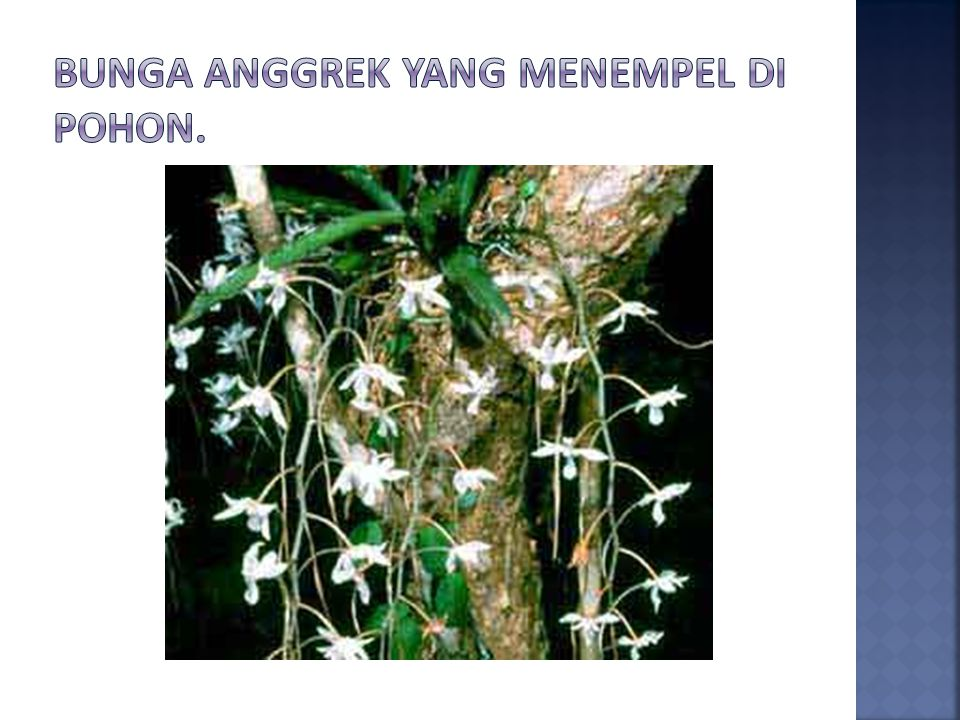 Bunga anggrek yang menempel di pohon.