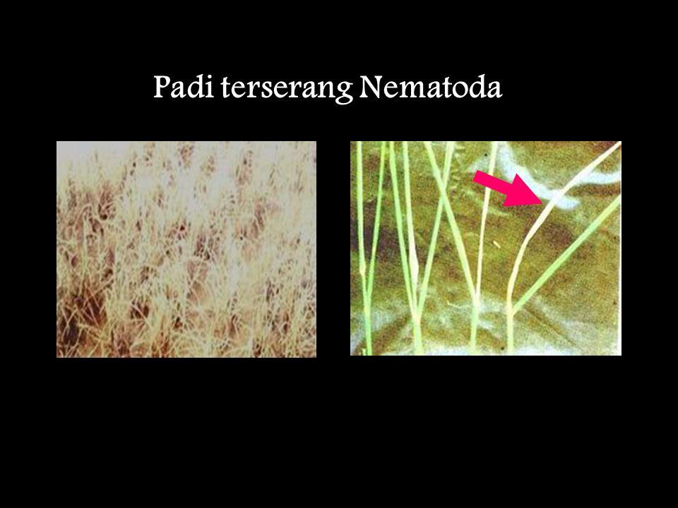 Padi terserang Nematoda