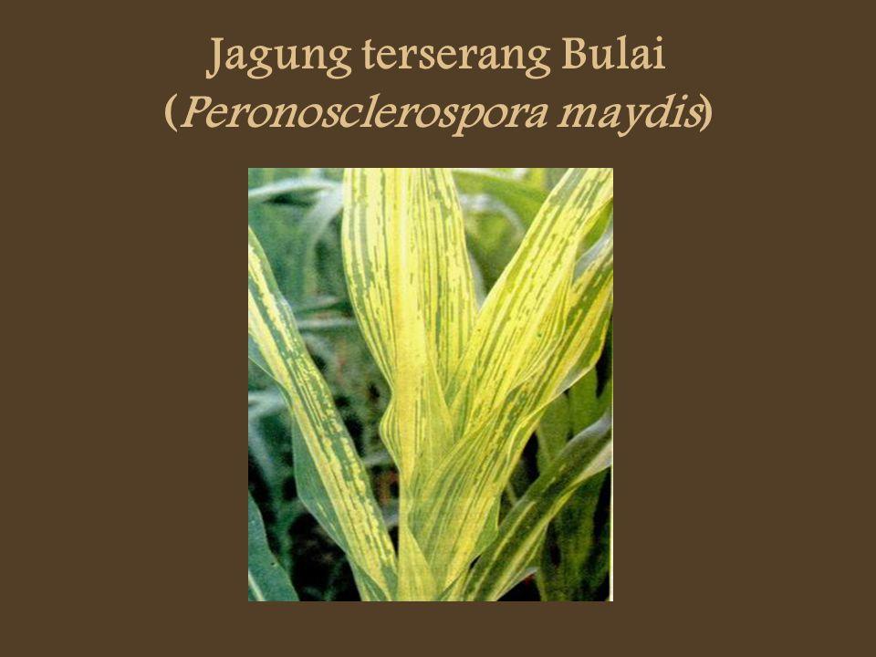 Jagung terserang Bulai (Peronosclerospora maydis)