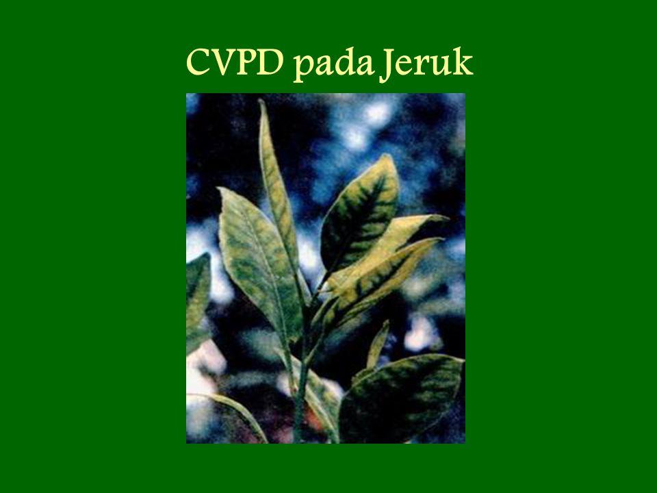 CVPD pada Jeruk